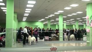 Белгород, 07.04.2013, ринг самоедов-щенков