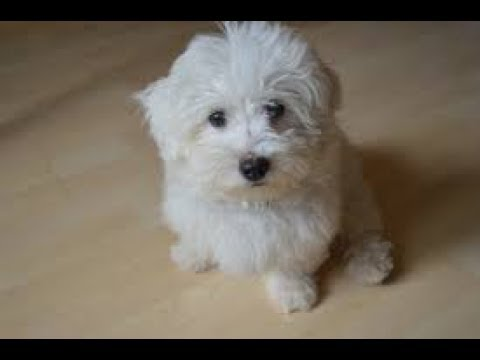 Maltese / Dog Breed