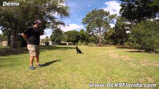"8mo Shepherd Mix ""lulu"" Before And After Video. Orlando Dog Training."