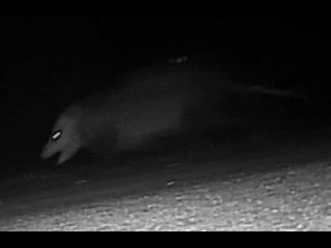 giant rat or possum caught on the charlotte county florida wildlife trail camera
