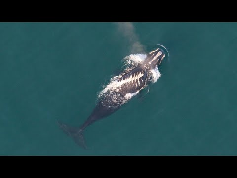The Right Stuff: Regulations For Right Whales