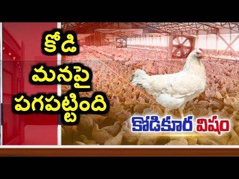 Killer Chickens | Chicken Farm Using Dangerous Antibiotics | Special Story | HMTV