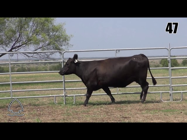Pearcy Angus Ranch Lot 47
