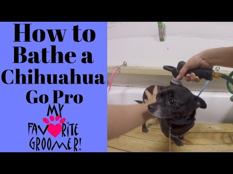 How to Groom a Chihuahua (GoPro)