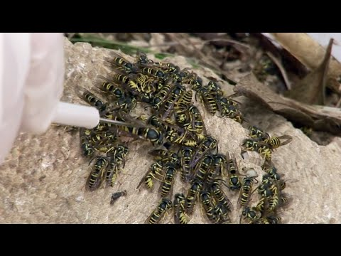 Yellow Jackets & Fire Ants: Social Insects - Science Nation