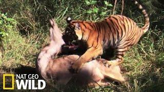 Les griffes meurtrières du tigre