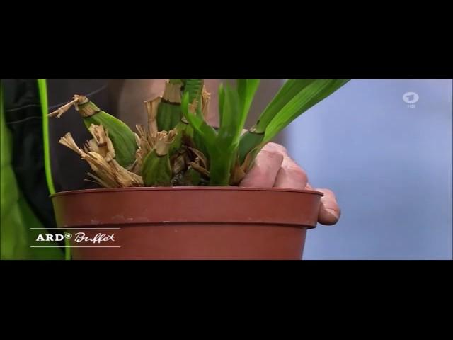 ARD-Buffet: Frühjahrskur für Zimmerpflanzen - Umtopfen einer Orchidee