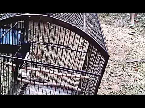 Suara burung kacer gacor juara untuk melatih mental kacer Anda #4
