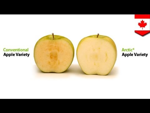 Genetically engineered apples do not go brown