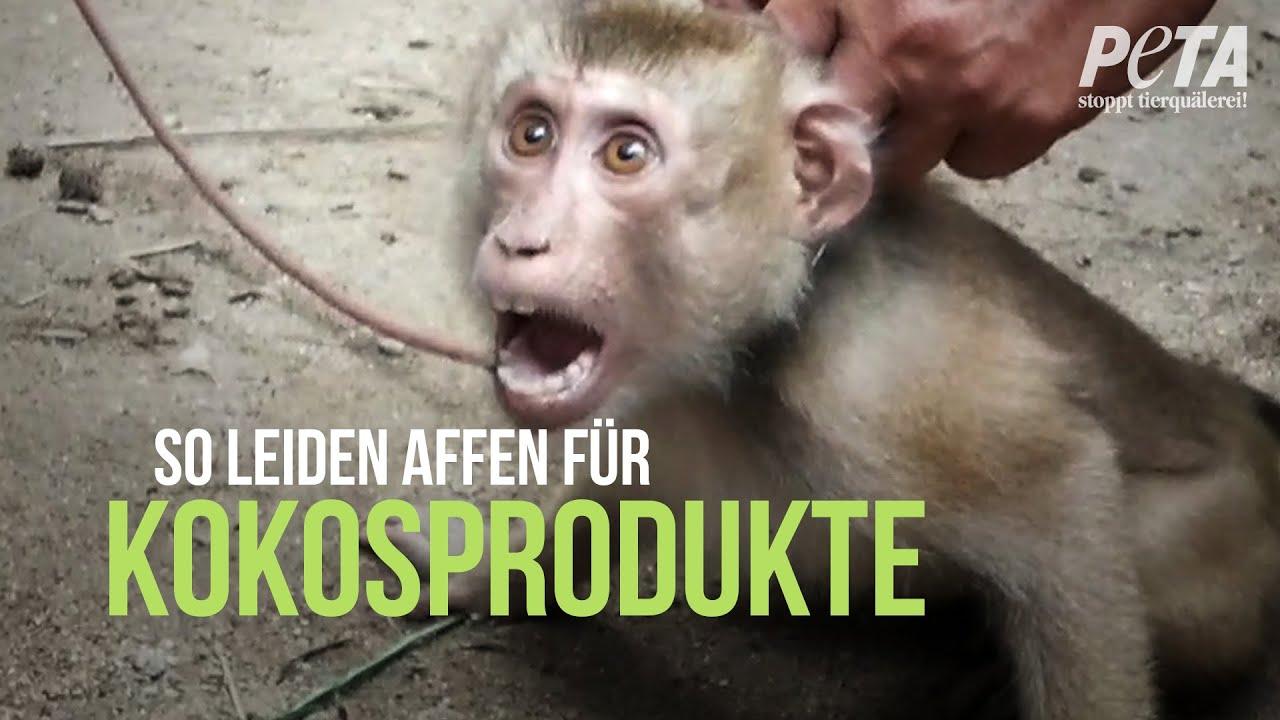 Aufgedeckt: Diese Affen werden für Kokosmilch, Kokosöl und Co. missbraucht!
