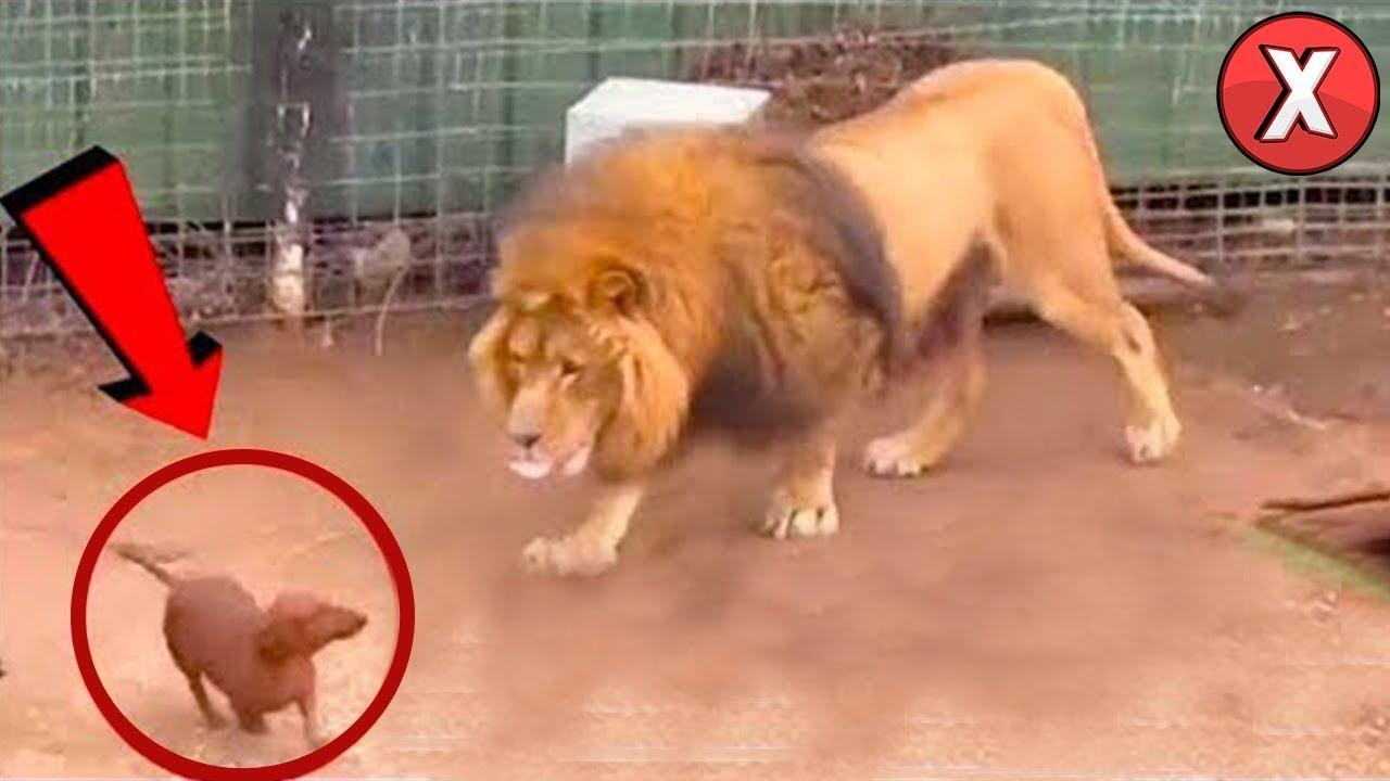 Eles colocaram o cachorro na jaula do leão, e o que aconteceu surpreendeu a todos!
