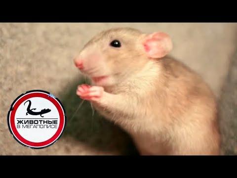 Вопрос: Правда что самыми распространенными животными на земле являются крысы?