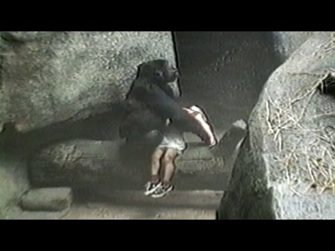 Brookfield Zoo gorilla rescues little boy who fell into the ape pit At Zoo