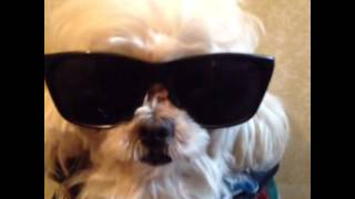 Gangster Dog Stripper (vine videos)