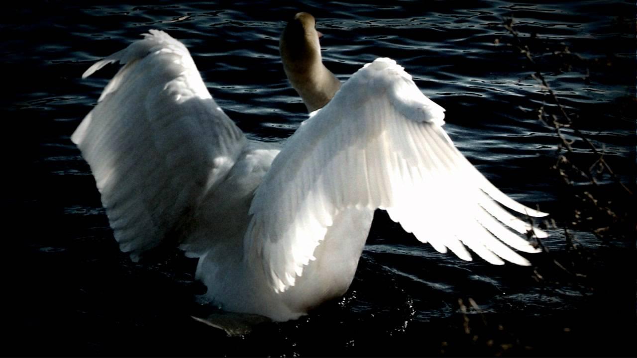 Swan Lake (Swan Theme)