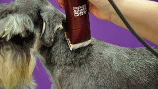 Grooming Guide - Clipped Miniature Schnauzer Pet Trim - Pro Groomer