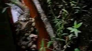 King Cobra vs Python!!  Part2/3