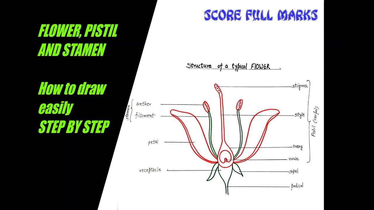 How to draw structure of FLOWER, PISTIL, STAMEN ...
