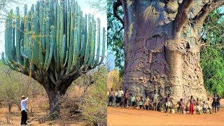 World's Largest Cactus and The Biggest Tree