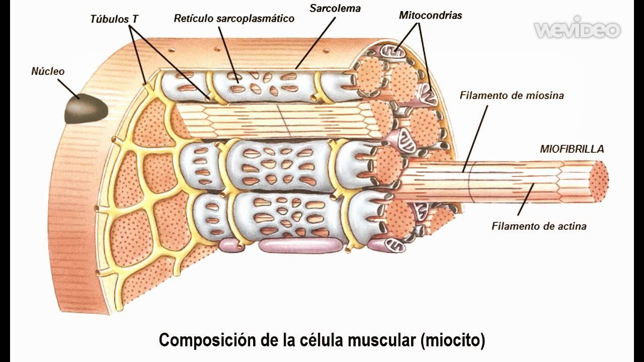 T.M. Músculo Estriado Esquelético - YouTube