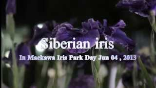 前川あやめ園(ライトアップ)【Siberian iris】