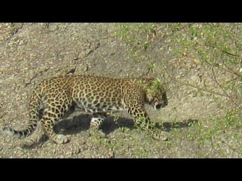 The Kingdom of Leopards - Bera, Rajasthan