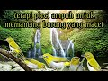 Suara Terapi Burung Pleci Gremecik Air Kicau  Mp3 - Mp4 Download