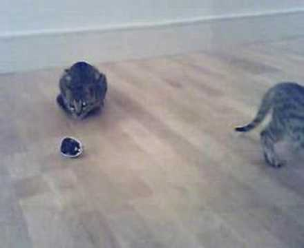 Bengal chasing radio-controlled mouse