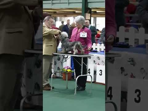 Dandie Dinmont Terrier Show at Stafford show Ground April 6th