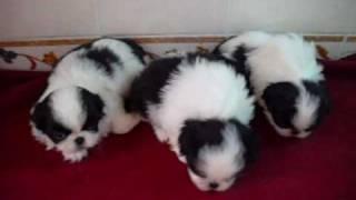 日本狆犬~母寶寶.