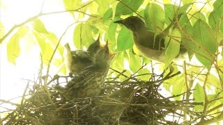 Baby Birds Preparing To Leave The Nest