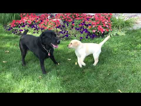 Tommy and Autism Dog Guide Adel meet Reggie, Danny's new yellow lab puppy