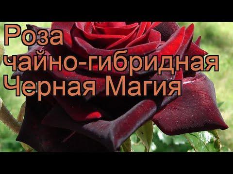Роза чайно-гибридная Черная Магия (black magic) 🌿 обзор: как сажать, саженцы розы Черная Магия