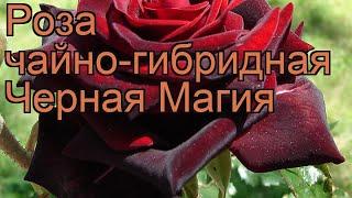 Роза чайно-гибридная Черная Магия (black magic) ???? обзор: как сажать, саженцы розы Черная Магия