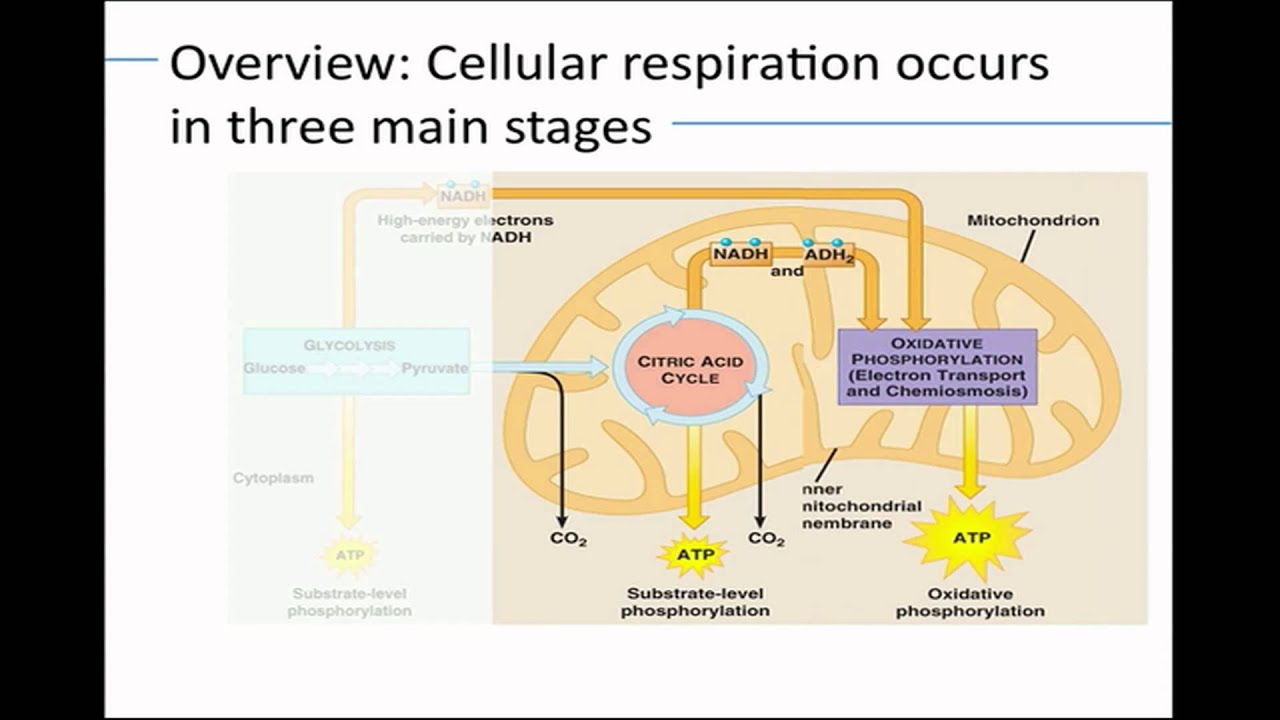 Bio 3 How Cells Harvest Chemical Energy