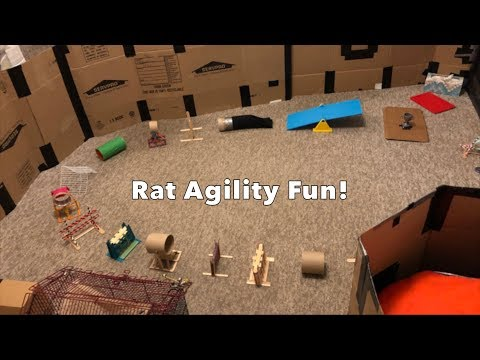 Rat Agility Work (Its Mostly Bean 😅)