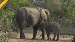 Słoń z dzieckiem Afryka Safari