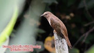 Download lagu Suara Burung Kedasih / Sirit Uncuing / Plaintive Cuckoo (Cacomantis Merulinus)