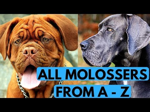 All Molosser Dog Breeds List (from A to Z)