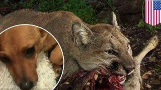 Download Video Anjing diterkam singa gunung di kamar pemiliknya - Tomonews MP3 3GP MP4