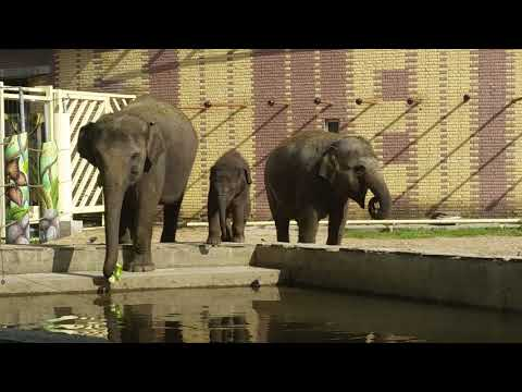 Three Asiatic elephants including baby