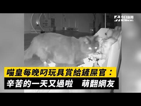 喵皇每晚叼玩具賞給鏟屎官:辛苦的一天又過啦 萌翻網友