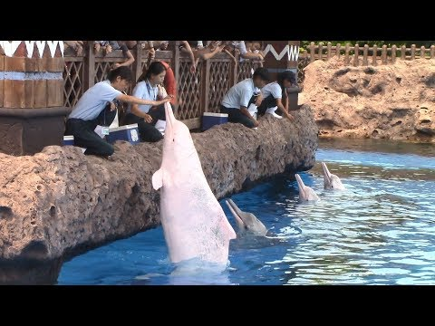 Indo-Pacific Humpback Dolphin Training Session at Chimelong Ocean Kingdom 8/22/17