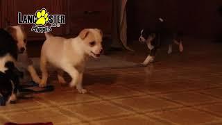 Fox Terrier Mix Puppies