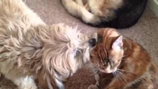 Dog licking a cat