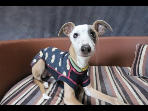 Winnie - Whippet Puppy - 3 Weeks Residential Dog Training