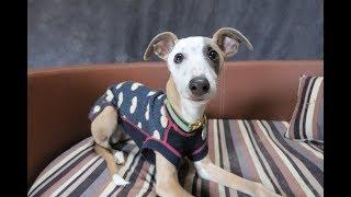 Winnie  Whippet Puppy  3 Weeks Residential Dog Training
