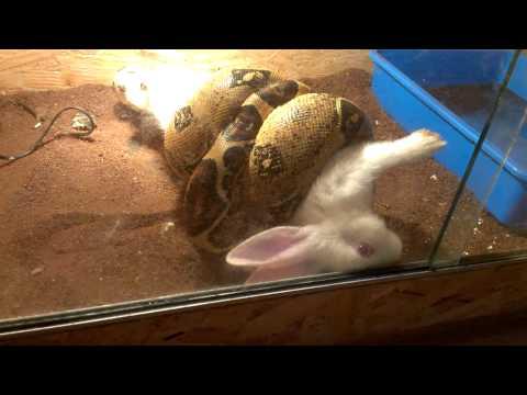 Boa Constrictor Strikes Rabbit