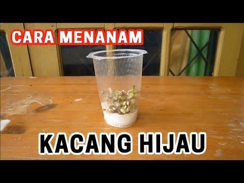 Percobaan Kacang Hijau Cara Menanam Kacang Hijau Youtube