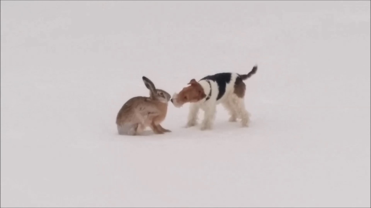 Wire fox terrier and hare. Friendly meeting. - YouTube